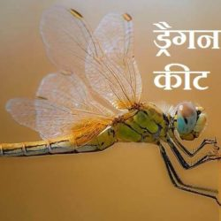 Dragonfly In Hindi