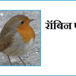 Robin Bird Information In Hindi