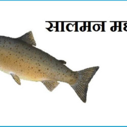 Salmon Fish In Hindi