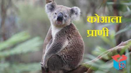 Koala Animal In Hindi
