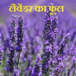 Lavender Flower In Hindi