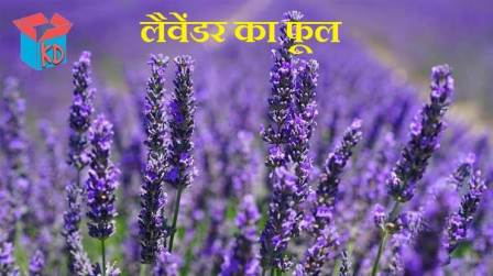 Lavender Flower In Hindi