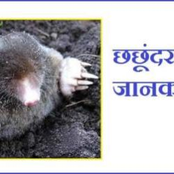 Mole Animal In Hindi