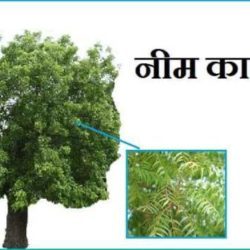 Neem Tree In Hindi