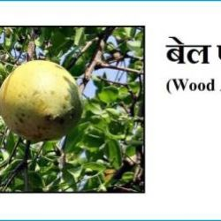 Wood Apple In Hindi