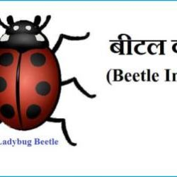 Beetle Insect In Hindi
