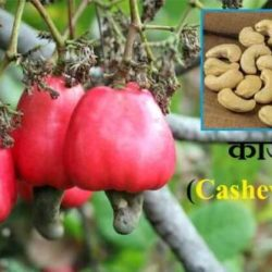 Cashew Nut In Hindi