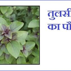 Tulsi Information In Hindi