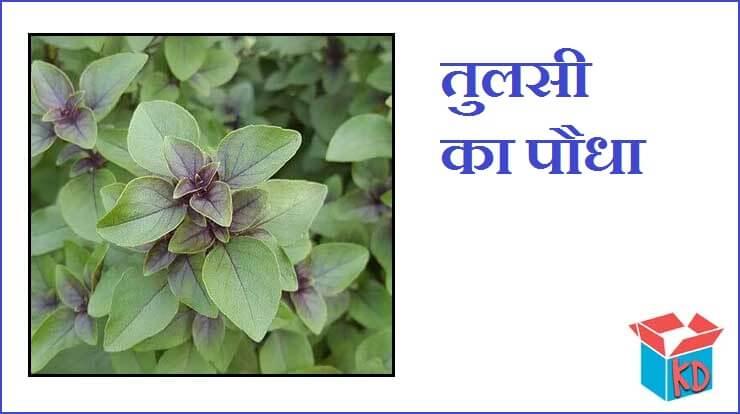Tulsi Information In Hindi