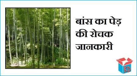 Information About Bamboo Tree In Hindi
