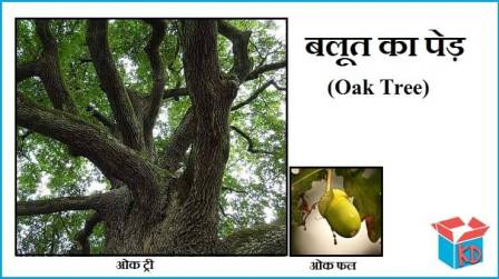 Information About Oak Tree In Hindi