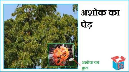 Information About Ashoka Tree In Hindi