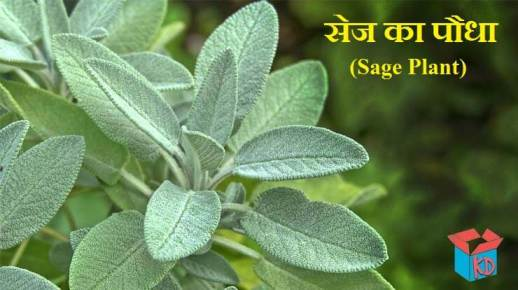 Sage Plant And Leaves In Hindi