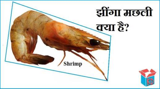 Shrimp Information In Hindi
