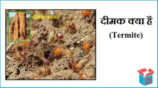 Termite Kya Hai In Hindi
