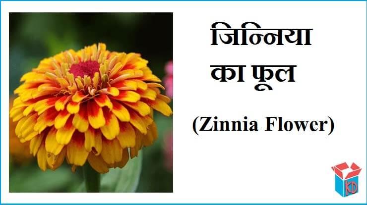 Zinnia Flower In Hindi Information