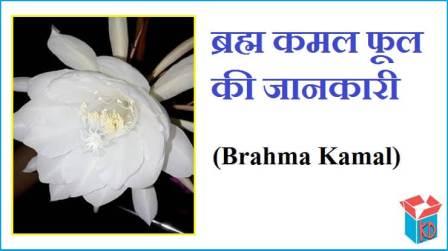 Brahma Kamal Flower Information