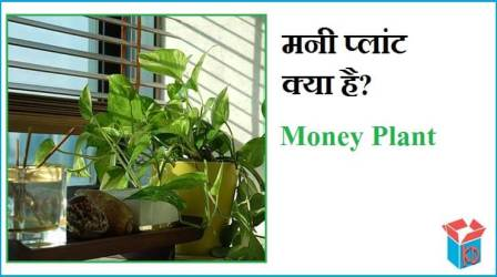 What Is Money Plant In Hindi