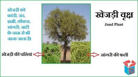 Khejri (Shami) Tree In Hindi