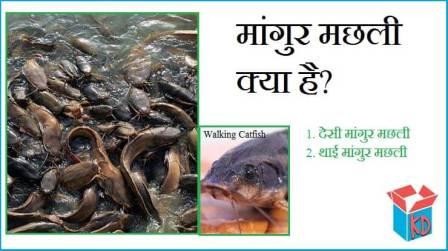 Magur Fish In Hindi