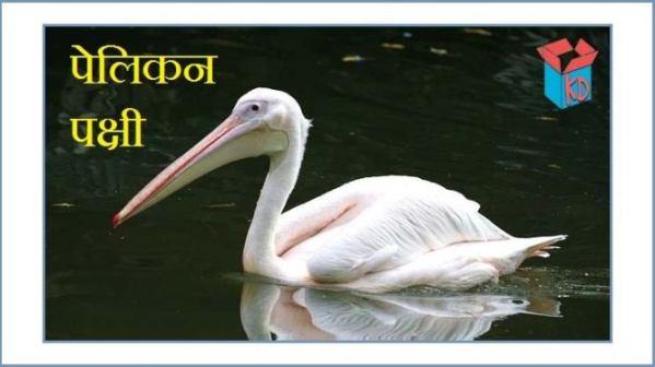 Pelican Bird Information In Hindi